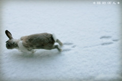 fukusuke-pon  (fukusuke-pon ) Tags: white snow rabbit bunny  footprint footmark