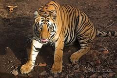 Thats dinner (Rahul Sachdev) Tags: outdoors wildlife tiger royalbengaltiger