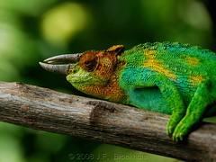 Rwenzori Three-Horned Chameleon (Makgobokgobo) Tags: africa reptile uganda chameleon rwenzori chamaeleo rwenzorimountains mountainsofthemoon rwenzorithreehornedchameleon johnstonschameleon chamaeleojohnstoni