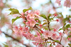 Kawazu-Sakura (Sébastien P) Tags: macro canon eos 350d 50mm takumar f14 plan sakura smc japon cerisier gros japonais kawazu 蛙桜キャノン