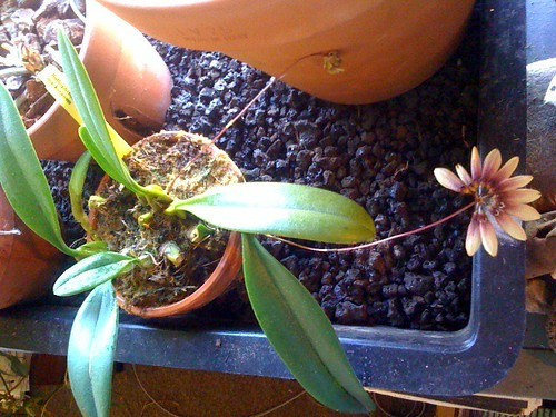 bloomin' orchid