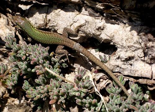 Podarcis Filfolensis Lizard