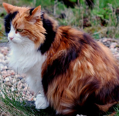 pretty cat (Hazy Days) Tags: cat colours fluffy half stray once calicocat tartan persianwas