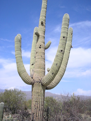 saguaro with bird nest holes