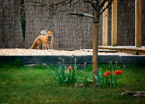 Fox in the Garden