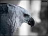 Aguila Harpia (Tairo) Tags: canon eagle venezuela ave kuna harpy aguila arpia harpia arpy aguilareal 400d aguilamorena sulubagi