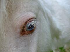 Petal's Eye (Hajari-stock*) Tags: portrait horse pet baby cute nose miniature small ears days pony shetland foal blueeyedhorse hinchlone
