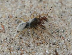 Geolycosa sp. (IvanTortuga) Tags: statepark usa mi insect spider michigan arachnid ant attack northamerica sawyer warrendunes