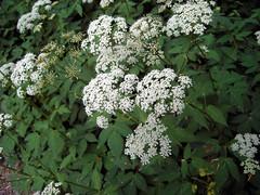 Giersch (mbn_de) Tags: wild wildflowers weiss garten frhling blten giersch wildpflanze naturgarten