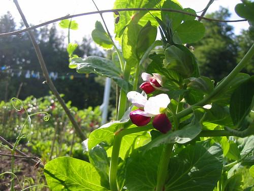 carlin flowers