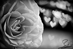 My Heart is a Rose You Grew ... (althani_1986) Tags: white black love rose by photography heart ben bokeh shaped first bin photograph ahmad hamad trial nasser althani firsttrial shapedbokeh hawaalrayyanfav