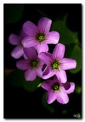 think pink (˙·٠ •●★Libera Strega ★●•٠·˙) Tags: pink nature rosa natura explore sicily fiori tris sicilia leggerezza lillà fiorellini fantasticflower diamondclassphotographer flickrdiamond supercontest macrofotografiafiore