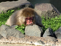 Monkey in deep thought (Beatnik Photos) Tags: its minnesota out zoo monkey funny rocks thought sad deep bored shy there baboon pondering pounting