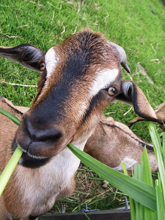 20080618_貪吃羊