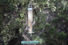 black crested titmouse (purnell family partnership) Tags: wildlife management titmouse
