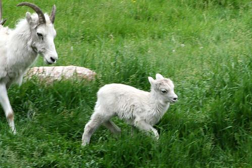 Dall's sheep with lamb
