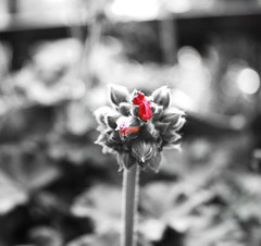 new born. (*northern star) Tags: flowers red plants white black flower nature canon cutout garden sadness grey born is grigio sad bokeh song natura muse explore triste newborn bud concept 1855 fiori conceptual fiore piante rosso bianco nero squarecrop nascita giardino tristezza selectivecolour concettuale sfocato bocciolo northernstar sfocatura giornitristi saddays explored donotsteal concetto eos450d allrightsreserved aplusphoto northernstarandthewhiterabbit northernstar periodaccio tititu digitalrebelxsi usewithoutpermissionisillegal northernstarphotography ifyouwannatakeitforpersonalusesnotcommercialusesjustask