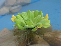 Kiambang... (miowz) Tags: green float kolam kiambang