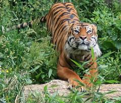 Stretch (.Carter.) Tags: seattle wild animal cat zoo washington tiger bigcat wa jaguar stripped woodlandparkzoo passionateinspirations