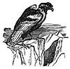 condor (3doel82) Tags: fish bird animals insect gambar koleksi ikan belajar burung binatang carnivora serangga mamalia amphibi