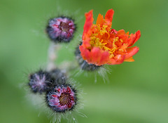 Alien fauna (blubbla) Tags: red flower macro green rot eos purple blossom lila grn blume makro blte violett whiskas fhler 40d blubbla