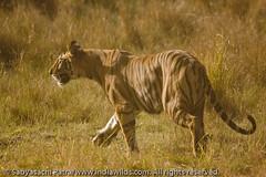 _MG_0166 (indiawilds) Tags: wild nature animal mammal wildlife tiger endangered predator carnivore wildtiger wildindia indianwildlife indiantiger pantheratigristigris royalbengaltiger indiawilds wwwindiawildscom