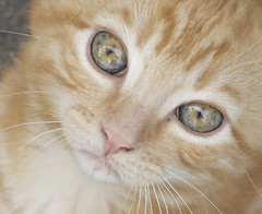 Cat Eyes (Urs Wachter) Tags: red pets cute rot cane cat schweiz switzerland eyes kitten feline chat pretty suisse tabby kitty aarau gato kitties katze augen puss gatto aargau kats overload ktzchen chaton urs wachter gattini httli cat1000 oberkulm bestofcats aplusphoto worldofanimals flickrestrellas minoltaamount llovemypics catnipaddicts sonyalphadslra350
