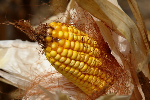 Not Your Grandma's Corn