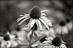 b&w coneflower (heavenuphere) Tags: summer bw white blur flower garden 50mm echinacea coneflower zonnehoed