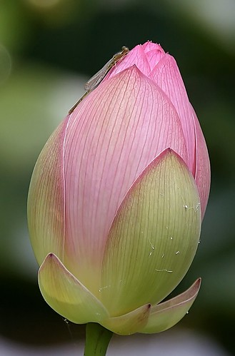 Lotus Bud and Visitor