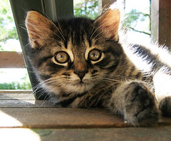 Tabby closeup (Vaedri1) Tags: cute fuzzy fluffy kittens kissablekat catmoments