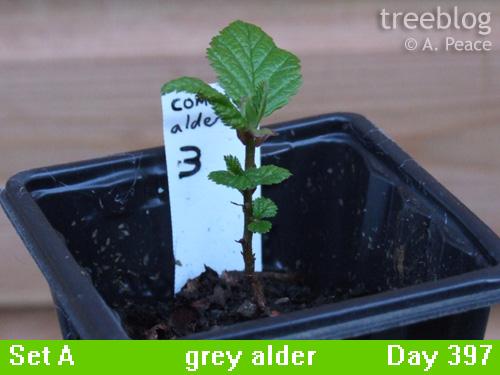 grey alder No. 3
