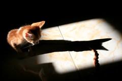Larger than Life 66/365 (cscotchmer) Tags: shadow cat kitten egypt sinai project365 butshessocute khalood photofaceoffwinner pfogold sorryforallthekittenpics