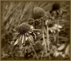 ~vintage~ (MsMimiSmeeks) Tags: old flowers summer nature vintage coneflower dying 2008 fpc platinumphoto