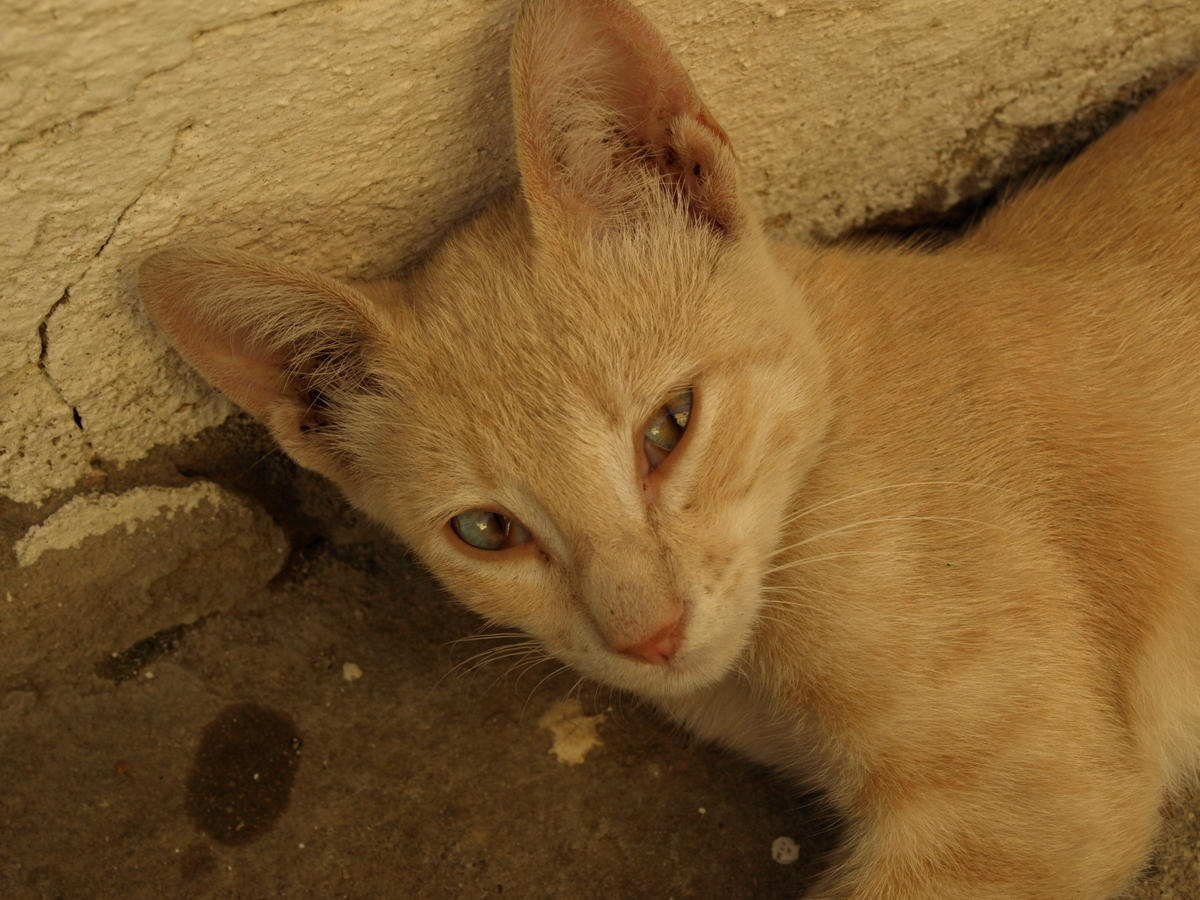 Cats in Algeria II-1