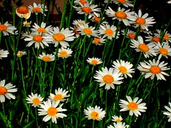Daisies for all (sylkyred1) Tags: old orange white green nature field daisies outdoors young goldstaraward