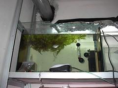 Breeding Tanks (Mihnea Stanciu) Tags: plants fish aquarium tank nest dwarf fishtank tropical lalia gourami tropicalfish bubblenest vechi bublle dwarfgourami colisalalia vechituri colisa anabantidae breedingtank
