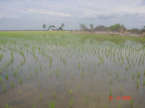 Beautiful paddy field of Sekinjang