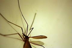 Creepy 2 (evilbatduck) Tags: insect daddy bathroom long legs creepy massive