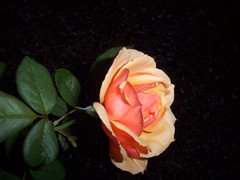 leaning Rose (fwithclass44) Tags: flowers roses orange flower rose yellow single