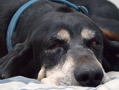 Nap Time (coondawg_97 (AKA CrookedNose)) Tags: portrait dog time sleep rufus coonhound blackandtan mission24 challengeyouwinner thelittledoglaughed pfogold pfosilver thechallengefactory