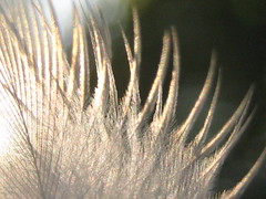 10.11.08 (sunshadows) Tags: sun white black macro austin afternoon magic feather intothesun birdfeather naturesfinest allrightsreserved goldstaraward inmydrivewayinthelateafternoontakingphotosofflowersandtherewasthisbirdfeatherontheground
