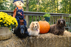Chili, Honey and Teddy (Doxieone) Tags: dog fall halloween pumpkin dachshund 2008 halloweenfall2008set
