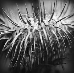 evil (-justk-) Tags: bw copyright nature web evil thorns pictureperfect blackwhitephotos goldstaraward rubyphotographer allmyimagesarecopyrightedallrightsreserveddonotusecopyandeditmyimageswithoutmypermission