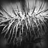 evil (-justk-) Tags: bw copyright nature web evil thorns pictureperfect blackwhitephotos goldstaraward rubyphotographer allmyimagesarecopyrighted©allrightsreserveddonotusecopyandeditmyimageswithoutmypermission