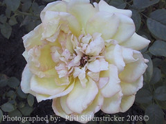 Gorgeous White Flower (phil_sidenstricker) Tags: flower nature floral beautiful botanical naturallight inspiredbylove donotcopy concordians valleyofthesunphoenixmetro upcoming:event=981998 southmountainfarmphoenixazusa
