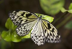 Tree Nymph Butterfly (Theresa Elvin) Tags: macro animal butterfly sheffield tropical treenymphbutterfly platinumphoto ultimateshot northanston goldstaraward damniwishidtakenthat rockmymacroworld sheffieldbutterflycentre
