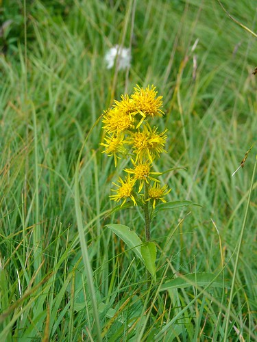 Fuchs's Groundsel (Seneco ovatus)