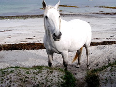 White Horse on White Beach (Sian Bowi) Tags: ireland horse white beach connemara picturesque gwyn traeth iwerddon ceffyl