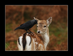 eye to eye (felt_tip_felon) Tags: nature mammal wildlife deer fawn richmondpark rubyphotographer beyep